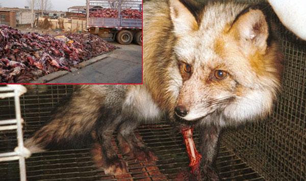 Bild zum Thema Globalisierungs-Highlight: Pelzproduktion in China. Wir bitten unbedingt darauf zu achten, ob Pelze an Kleidungsstücken als Kunstpelz gekennzeichnet sind. Mit jeder noch so kleinen Echtpelz-Applikation an Kleidungsstücken unterstützen Sie hundertmillionenfaches Tierleid.