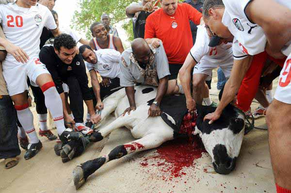 Sehr lustige Moslem-Bespaßung. Moslem Fußballmannschaft beim öffentlichen Schächten einer Kuh. #Date:12.2015#