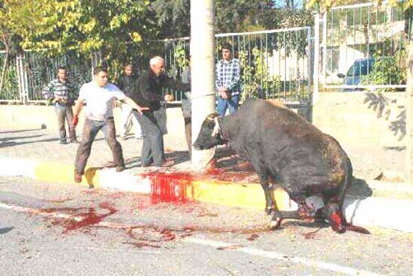 Beim islamischen Halal-Schlachten ohne Betäubung werden erst die Sehnen an den Hinterbeinen durchtrennt, damit das Tier nicht flüchten kann #Date:#